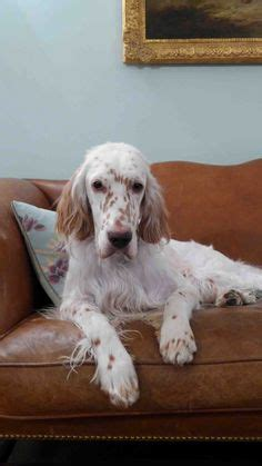 miss ali english setter dog breeds irish setter irish red white setter english setter