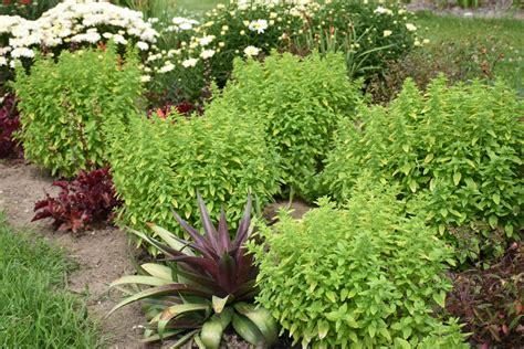 drops  jupiter ornamental oregano origanum hybrid