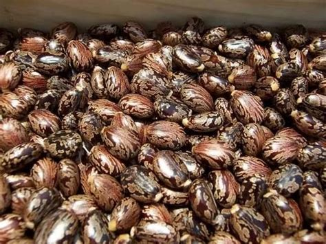 castor bean extract images