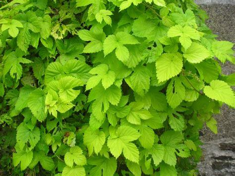 Plante Grimpante Pousse Rapide by Plante Grimpante Feuillage Persistant Croissance Rapide