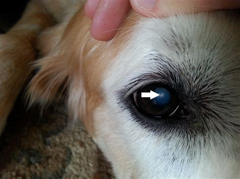 cloudy in dogs maxamillion knocks out cataracts