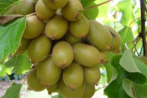 Pupuk Untuk Bunga Durian tanaman buah yang menguntungkan belajar berkebun