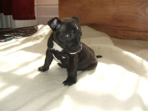 staffy puppies ready now superior kc staffy pups newton abbot pets4homes
