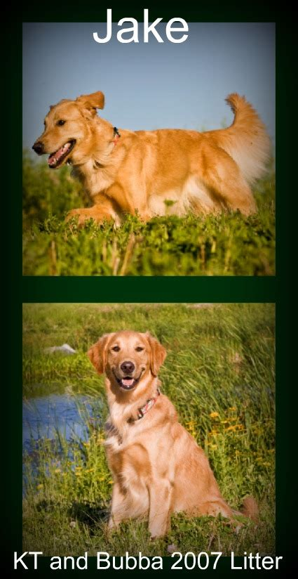 why is my golden retriever puppy so hyper golden retriever hyperactive golden retriever puppies baby x hyper litter 2010