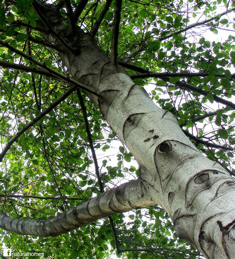 what does tree what do venice and clogs in common the alder tree