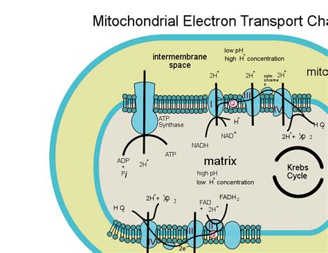 diagram of electron transport diagram electron transport chain choice image how to