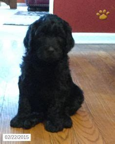 doodle darlings indiana morkie puppy for sale in indiana http www buckeyepuppies