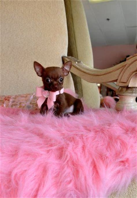 chihuahua puppies for sale in ohio cleveland 25 best ideas about teacup chihuahua puppies on teacup chihuahua teacup