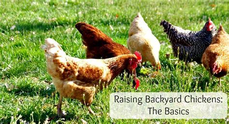 raising backyard turkeys raising backyard chickens what to know before getting started