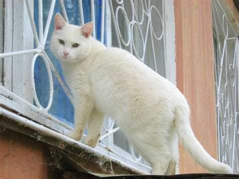 the white cat and beutiful white cat information and latest hd pictures wallpaper 2013 beautiful and dangerous