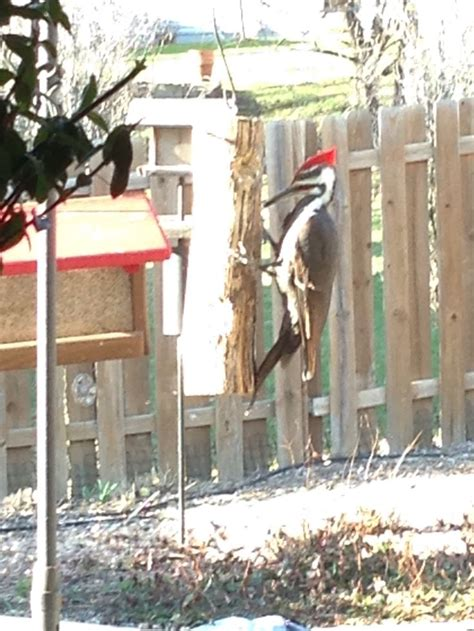 pileated woodpecker suet feeder plans woodworking