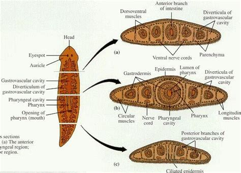 cross section of planaria planaria cross section www pixshark com images
