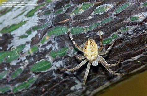 Garden Spider Southern California Southern California Spiders