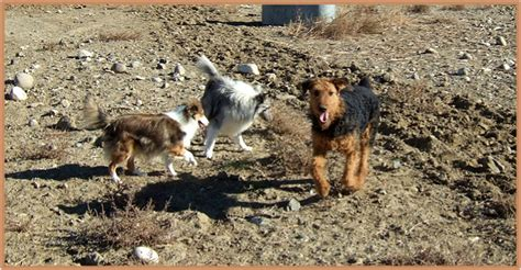 winter airedale haircut winter airedale haircut airedale terrier terrier dog and