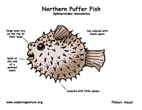porcupine diagram how to draw a puffer fish