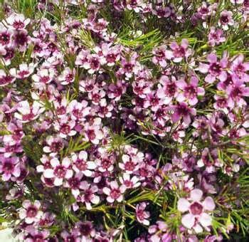 light pink wax flower pink wax flower buy fresh cut waxflower at wholesale prices