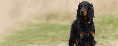gordon setter dog temperament gordon setter dog breed health history appearance