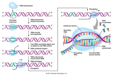transcription diagram dna transcription diagram labeled www pixshark
