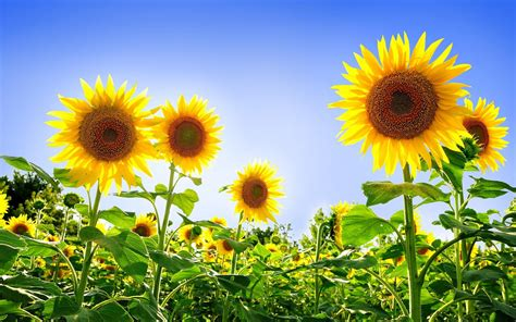 hd sunflowers wallpapers top  hd wallpapers  desktop