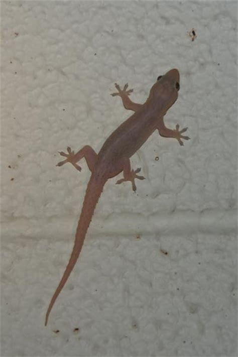 common house gecko wild herps common house gecko hemidactylus frenatus