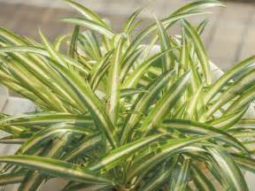 spider plant fertilizer information on fertilizing a