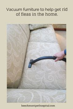 kill fleas on couch 1000 images about fleas 101 on pinterest fleas flea