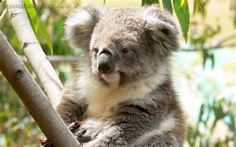 8 Animals From Australia Id To See by Wallpaper Quot Koala Quot