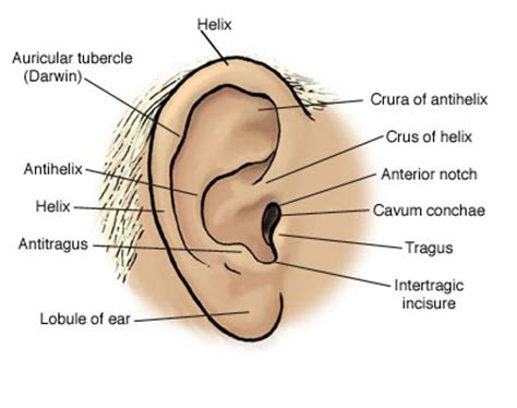 outer ear diagram labeled anatomy atlases anatomy of aid a study