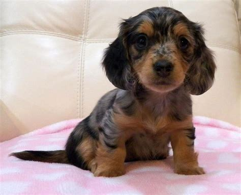 dachshund puppies for sale ny 17 best ideas about dachshund puppies for sale on daschund puppies for