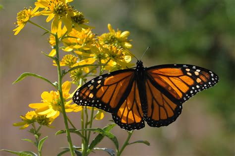 The Monarch Butterfly of a dynasty west america lost 95 of