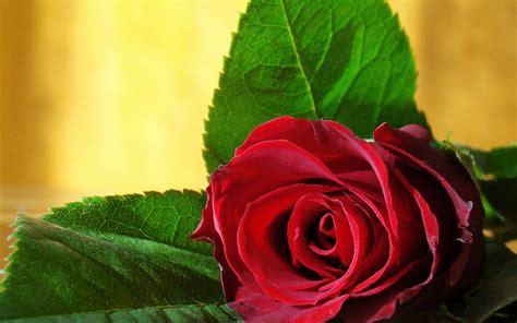 wallpaper for desktop red roses red roses wallpapers hd desktop wallpapers 4k hd