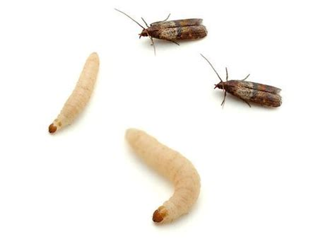 Pantry Moth Worms by Moths Worms And Webs Oh