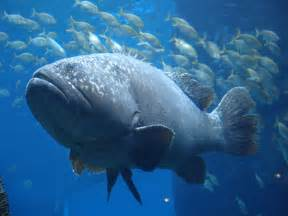 Interesting facts about giant groupers hayden s animal facts