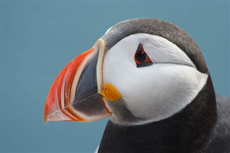 this little puffin english wooks file atlantic puffin 055 jpg wikimedia commons