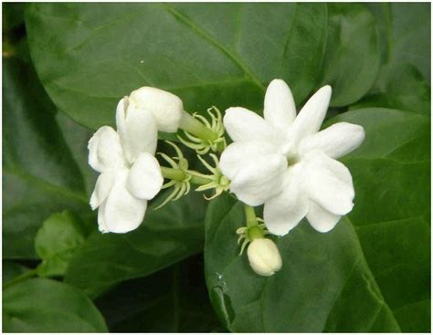 images  flower jasminemy love  pinterest