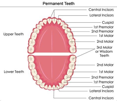 permanent teeth diagram illustration tooth diagram labeled quotes