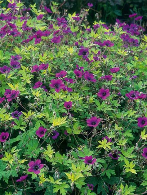cranesbill provides a weedproof ground cover lovely low growing perennial that has a big bloom