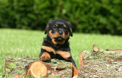 best rottweiler names 10 best rottweiler names