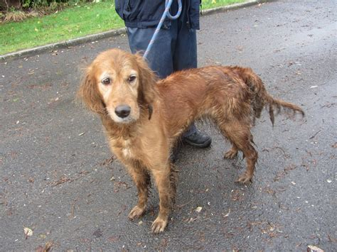 red setter dog rehoming irish red setter dogs rescued from unsuitable conditions