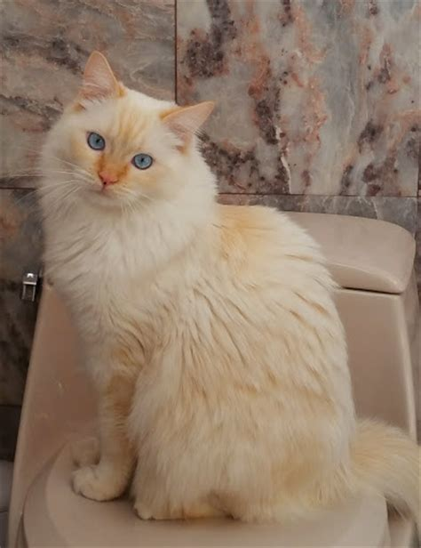 ragdoll cat colors ragdolls ragdoll cat breed colors point ragdoll