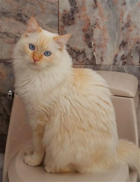 ragdoll white cat ragdolls ragdoll cat breed colors point ragdoll