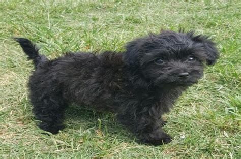 black maltese puppies maltese dogs 6 popular haircut styles and colors