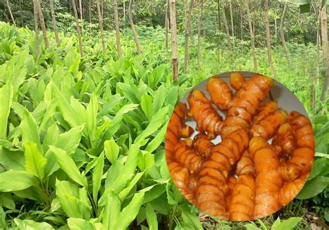 Obat Maag Tradisional Kunyit jenis obat herbal dan manfaatnya ali mustika sari