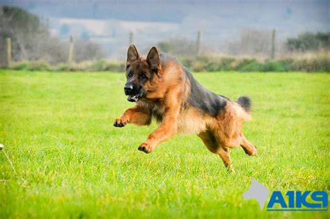 family protection dogs german shepherds at a1k9 a1k9 the professional trainers