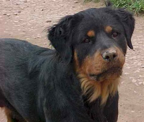 rottweiler hair haired rottweiler www pixshark images galleries with a bite