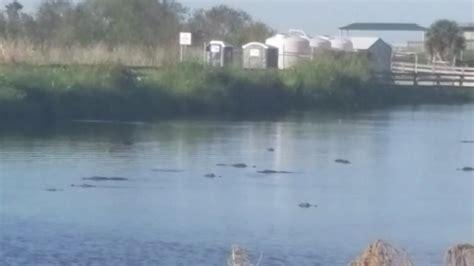gators swarm at lake apopka orlando sentinel