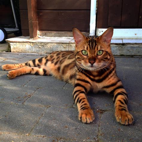 This Striped And Spotted Cat's Fur Is Mesmerizing The