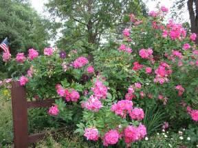 Flowering Garden Shrubs Flowering Shrubs And Roses Palmiters Garden Nursery