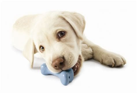 best puppy toys the best of perropet