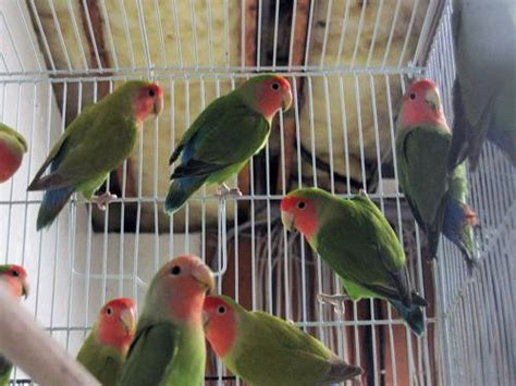 lovebirds for sale los angeles usa free classifieds